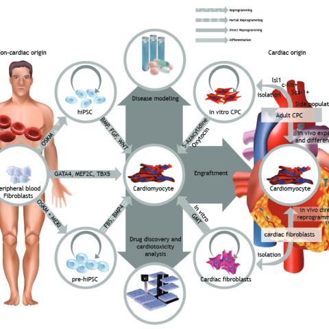 Cardiomyocyte Life Cycle